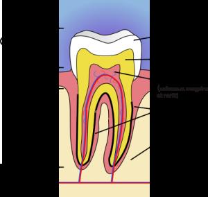 Composition d'une dent